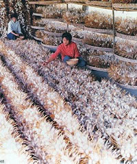 Chinese Women collecting silk cocoons spun by  Silk worms